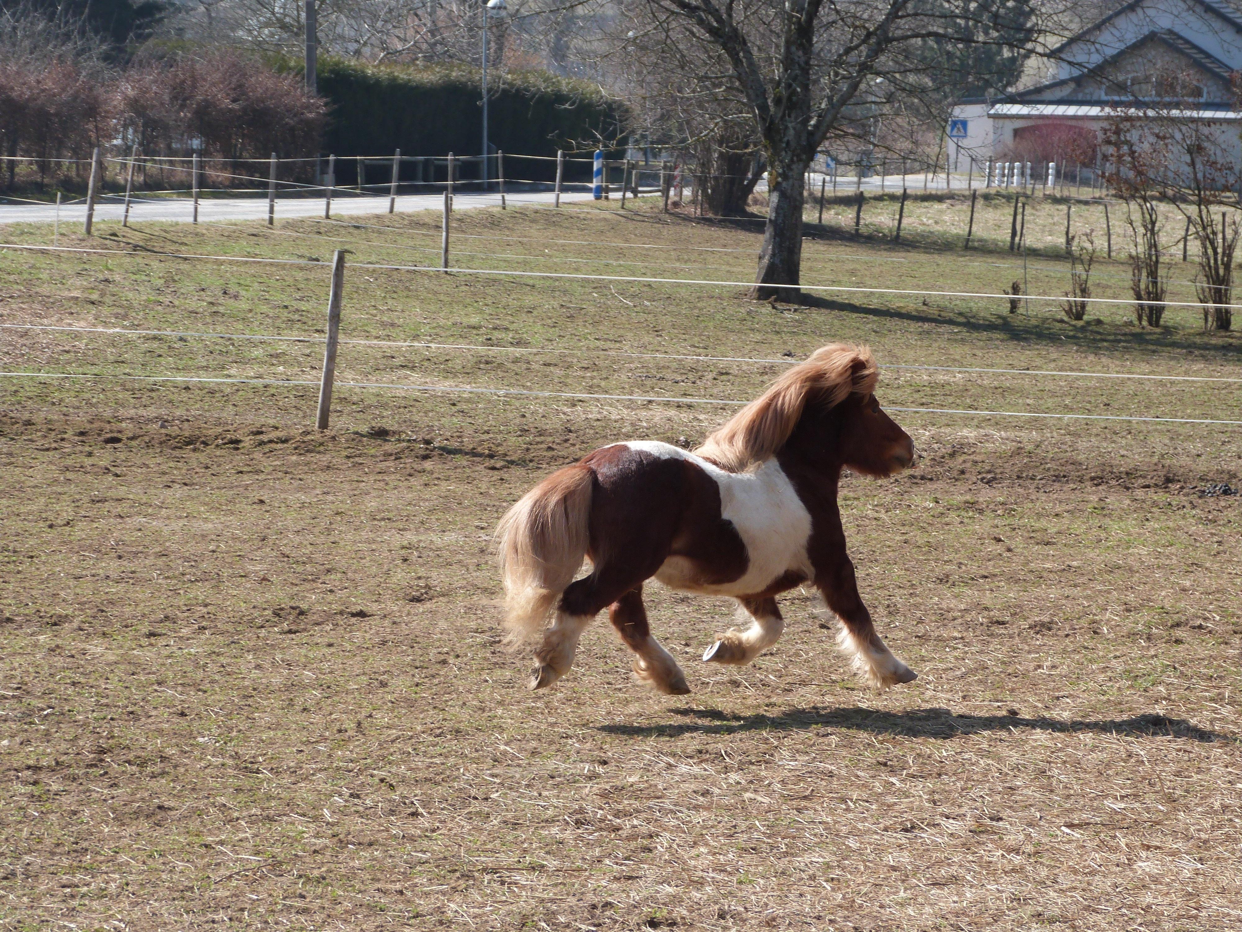 poney qui court