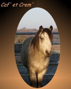 jeune poney entier welsh K de 2 ans