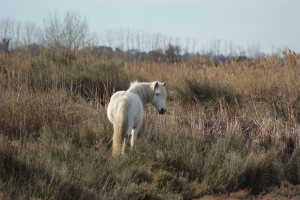 cheval de Camargue dans son environnement naturel