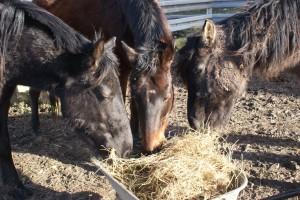 Apéro party entre chevaux autour d'une brouette de foin !