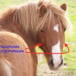 tête de poney, avec repères pour les apophyses zygomatique