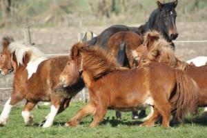 Jeux de poneys au galop