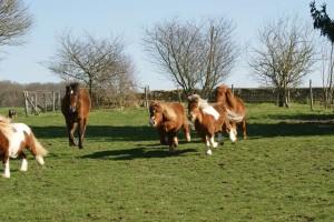vieux cheval et shetlands au galop
