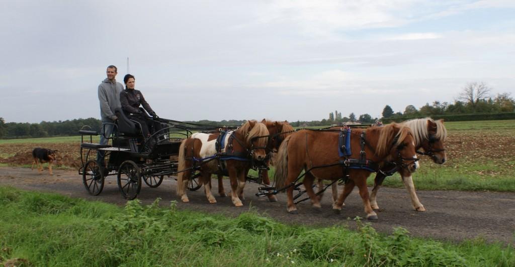 attelage de 4 poneys pieds nus sur la route