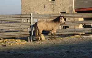 Poney au soleil matinal d'hiver