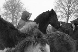 chevaux poneys et poulains à vendre