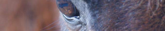oeil de poney