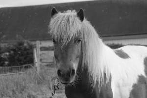 Les poneys à vendre ont-ils toujours aussi bonne tête ??