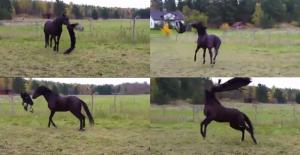 cheval jouant avec sa couverture