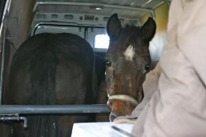 chevaux dans un camion