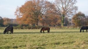 chevaux et poneys au pré