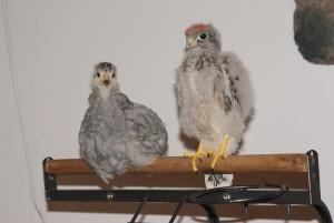 une poule et un faucon sur le même perchoir