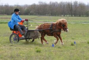 poney attelé en solo, au galop entre des quilles