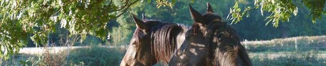 chevaux au petit matin