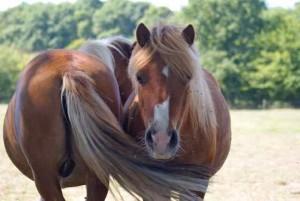 poneys faisant la Sieste tête bêche pour chasser les insectes mutuellement