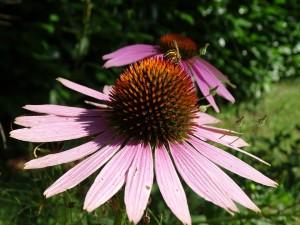 échinacée pourpre (échinacea purpurea)