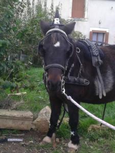 Luna ponette attelée est arrivée chez nous en 2009