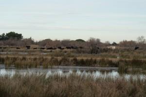 Taureaux et chevaux dans une parcelle avec marais