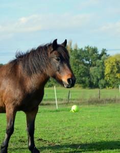 le poney Roméo dans son pré