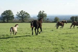 chevaux au galop dans une prairie