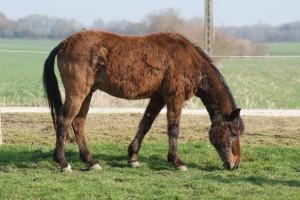 image du vieux poney qui broute