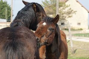 deux chevaux se grattant l'encolure mutuellement