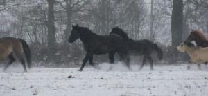 chevaux au galop dans la neige