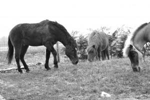 des poneys au pré