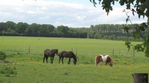 vieux poney entouré d'une pouliche et d'un shetland