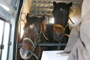 chevaux en camion