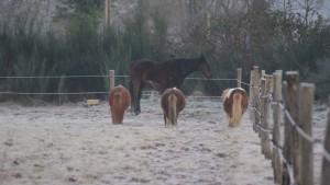 Poneys givrés au petit matin !