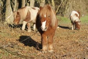 mes poneys a l'attache