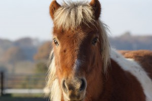 La tête et le regard malicieux de Poye poye vux, poney pie