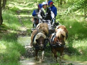 Attelage à 4 poneys lors du parcours d'orientation d'un TREC