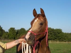 portrait de jeune cheval attendant les consignes