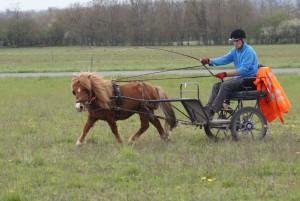 Travail attelé avec un poneysur un terrain en jachère fauché.