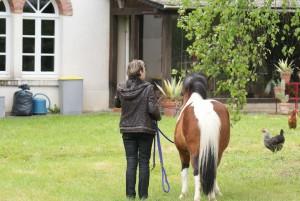 Travail en main avec un poney, sur une pelouse dédié à cet usage.