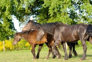 poneys et chevaux au pré