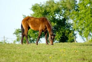 poney broutant l'herbe du pré