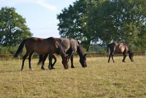 chevaux tête baissée pour vivre le présent (brouter)