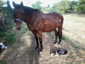 cheval shampoinné