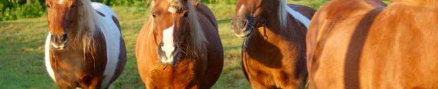 les poneys d'attelage au pré